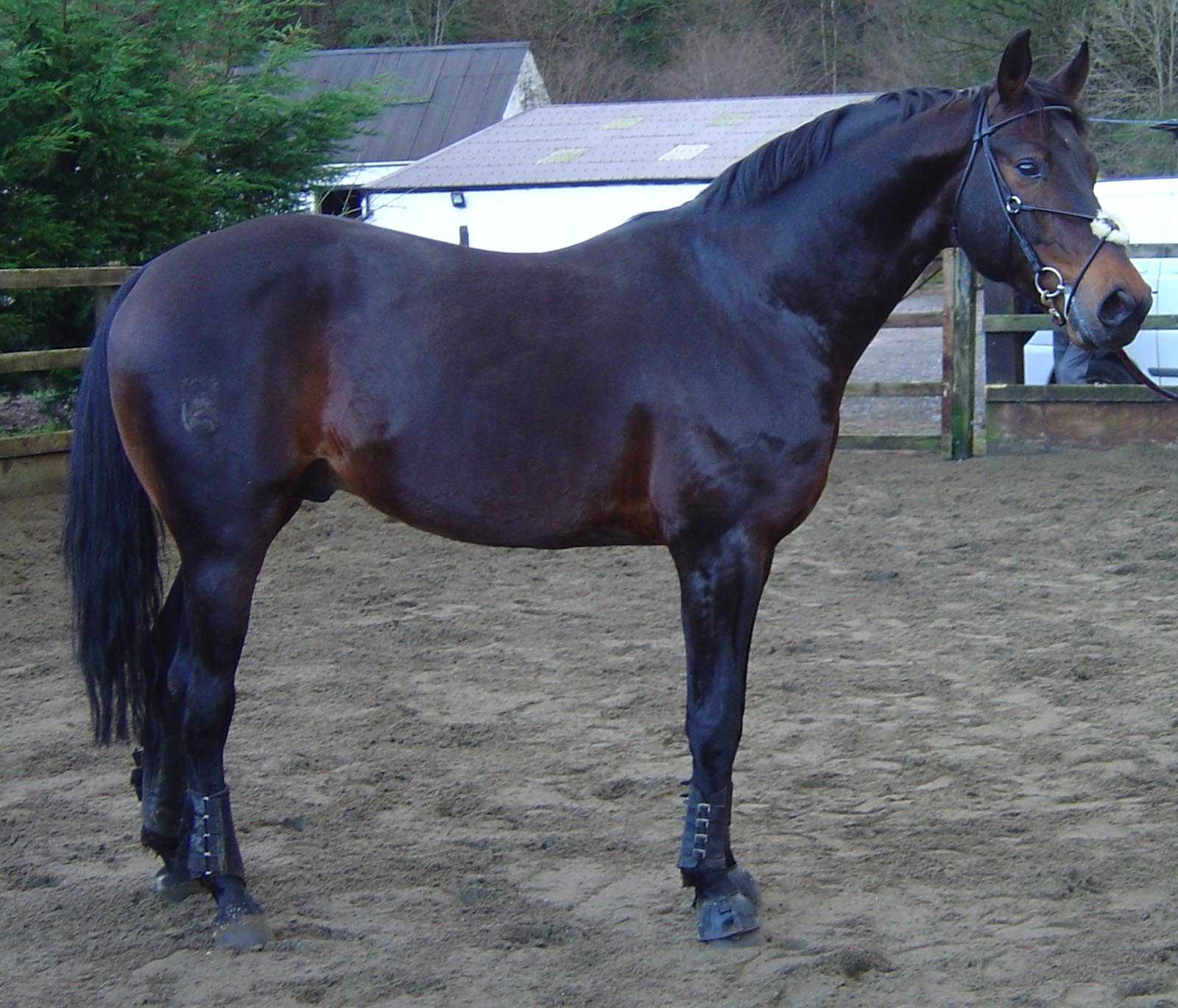stallion dick