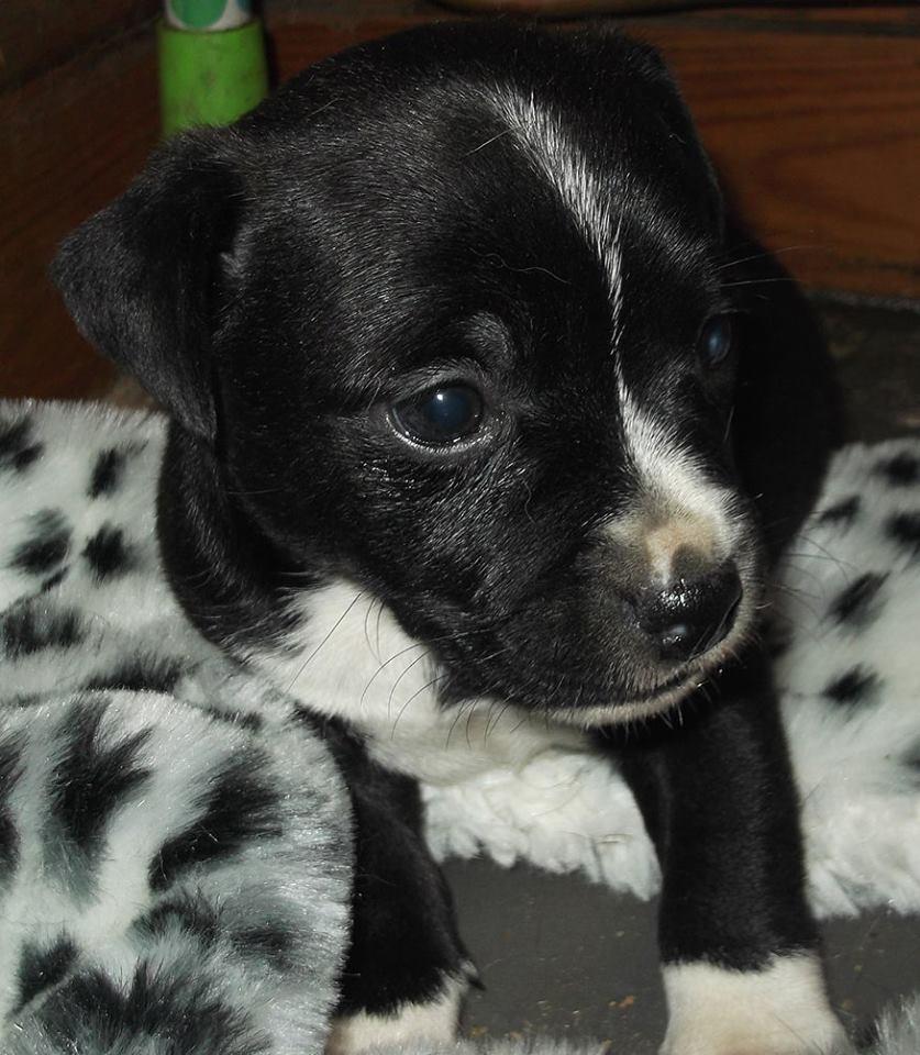 Spirits Fumangu Pup